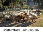 flock of spanish merino sheep...   Shutterstock . vector #1342403207
