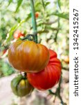 growing tomatoes on a branch....   Shutterstock . vector #1342415267
