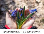 blue snowdrops on the palms of... | Shutterstock . vector #1342419944