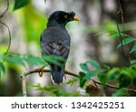jungle myna bird. captured in... | Shutterstock . vector #1342425251