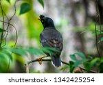 jungle myna bird. captured in... | Shutterstock . vector #1342425254