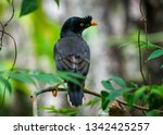 jungle myna bird. captured in... | Shutterstock . vector #1342425257