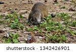 cuba   hutia eating crabs   Shutterstock . vector #1342426901