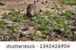 cuba   hutia eating crabs   Shutterstock . vector #1342426904