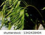 green ginger leaves   Shutterstock . vector #1342428404