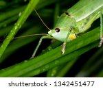 coneheads  subfamily...   Shutterstock . vector #1342451477