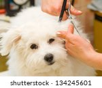 Stock photo grooming maltese dog 134245601