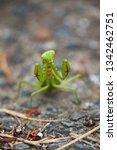 japanese giant mantis in...   Shutterstock . vector #1342462751