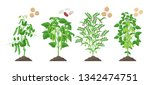 legumes plants with ripe fruits ... | Shutterstock .eps vector #1342474751