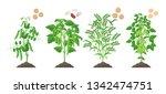 Legumes Plants With Ripe Fruit...