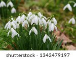 close up of common snowdrops ... | Shutterstock . vector #1342479197