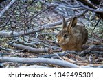 a hare during the huemul trek ...   Shutterstock . vector #1342495301