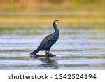 The Great Cormorant ...