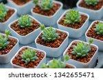 green castus in garden  | Shutterstock . vector #1342655471