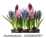 beautiful spring hyacinth...   Shutterstock . vector #1342840457