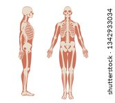 Human Skeleton Front And Side...