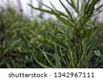 green plant  close up. | Shutterstock . vector #1342967111