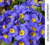 Small photo of Flowering Blue Yellow Primula Crescendo Blue Shades Plant
