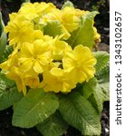 Small photo of Yellow Flowering Primula Crescendo Spring Fever Mixed Plant