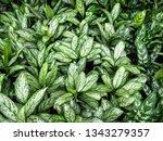 houseplant dieffenbachia. large ... | Shutterstock . vector #1343279357