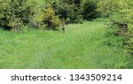 Stock photo a wild hare runs green grass in a field around which the forest 1343509214