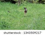 Stock photo a wild hare runs green grass in a field around which the forest 1343509217