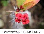 euphorbia milii flower | Shutterstock . vector #1343511377