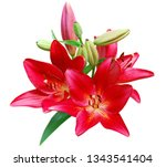 red lily flowers isolated white | Shutterstock . vector #1343541404
