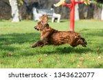 Funny Cocker Spaniel Dog...