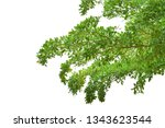 green leaves on branch isolated ... | Shutterstock . vector #1343623544