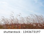 dry grass flowers blowing in... | Shutterstock . vector #1343673197