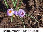 purple primroses spring...   Shutterstock . vector #1343771081