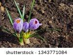 purple primroses spring...   Shutterstock . vector #1343771084