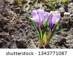 purple primroses spring...   Shutterstock . vector #1343771087