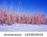 bright yellow dry reeds and... | Shutterstock . vector #1343834024