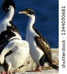 penguins  seagulls. magdalena... | Shutterstock . vector #1344050681