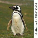 penguins  seagulls. magdalena... | Shutterstock . vector #1344050684