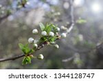 spring orchard tree blooms.... | Shutterstock . vector #1344128747