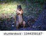 A Fox Squirrel Posing With A...