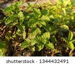 fresh peppermint trees in... | Shutterstock . vector #1344432491