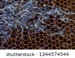 wax moth larvae on an infected...   Shutterstock . vector #1344574544