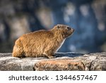 rock hyrax or procavia capensis ... | Shutterstock . vector #1344657467