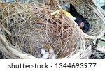 thai chicken breed is hatching... | Shutterstock . vector #1344693977