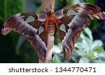 attacus atlas  atlas moth ...   Shutterstock . vector #1344770471