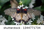 Papilio Lowi  The Great Yellow...