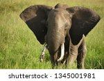 elephant's big ears open and... | Shutterstock . vector #1345001981