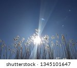 reeds with sunshine  | Shutterstock . vector #1345101647