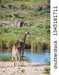 couple of giraffes in riverbank ... | Shutterstock . vector #1345181711