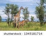 giraffes mother and baby in... | Shutterstock . vector #1345181714