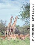 giraffe couple and impala in... | Shutterstock . vector #1345181717